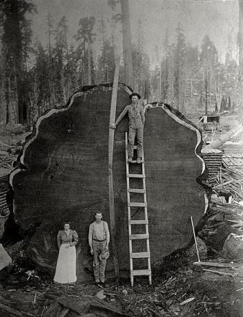Houthakkers bij een omgezaagde sequoia (de Mark Twain), 1892. Foto: N.E. Beckwith. Public Domain.