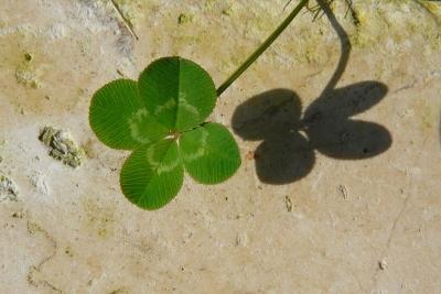 Klavertjevier. Witte klaver(Trifolium repens).