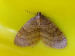 Kleine wintervlinder (Operophtera brumata), Foto: Doriet Willemen