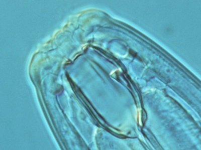 Coomansus parvus. Foto: Hans Helder; copyright Laboratorium voor Nematologie, Wageningen Universiteit.