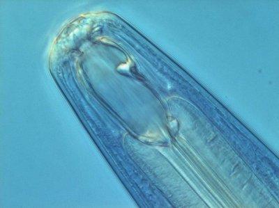 Mononchus-soort. Foto: Hans Helder; copyright Laboratorium voor Nematologie, Wageningen Universiteit.