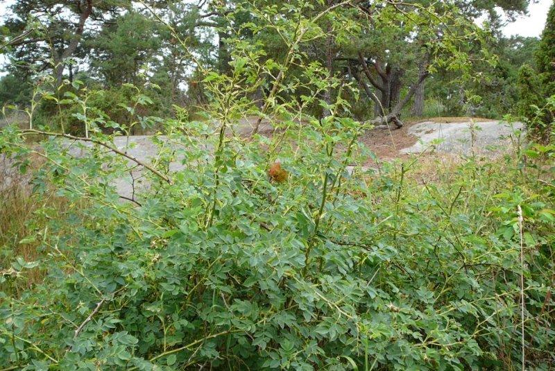 Bedeguaargal veroorzaakt door Diplolepis rosae op roos. Foto: Jan-Kees Goud.