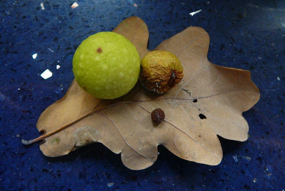 Gallen van de eikengalwesp (Cynips quercusfolii) op zomereik (Quercus robur). Foto: Jan-Kees Goud.
