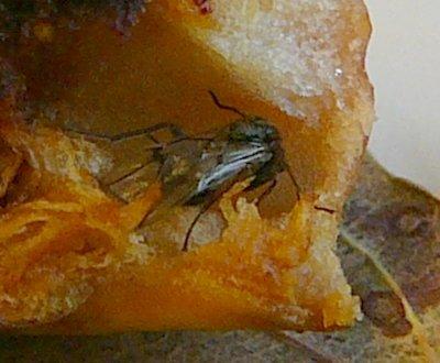 Close-up van doorsnede van eikengalwesp (Cynips quercusfolii) in gal. Foto: Jan-Kees Goud.