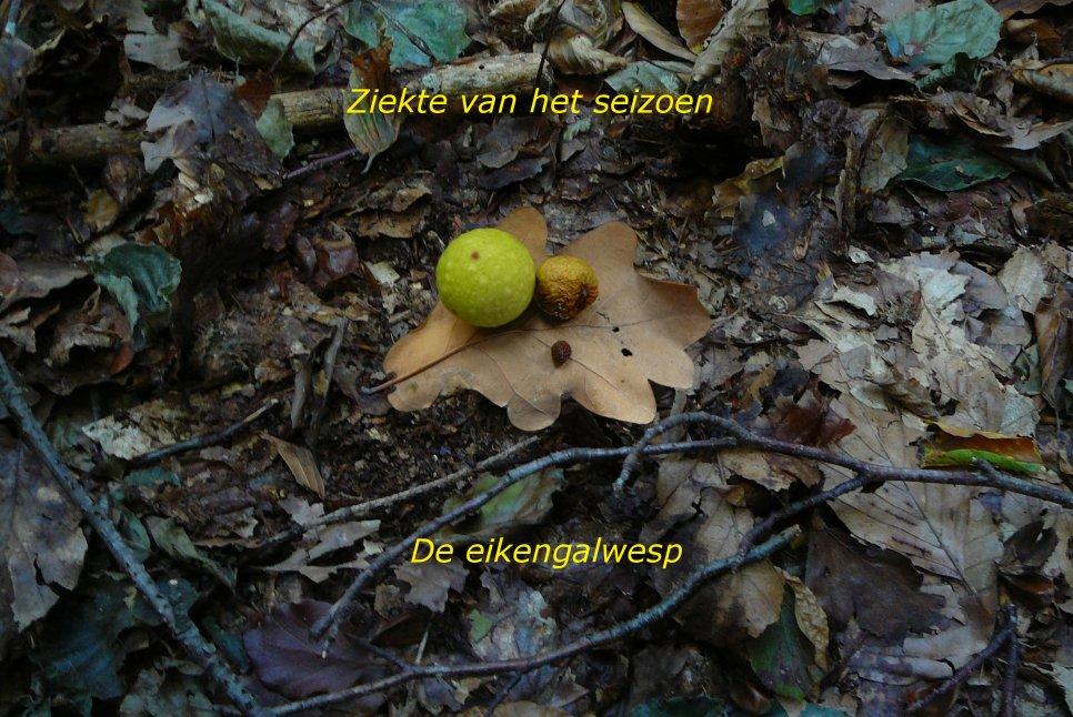 Klik voor meer info. Ziekte van het seizoen: de eikengalwesp (Cynips quercusfolii). Foto: Jan-Kees Goud.
