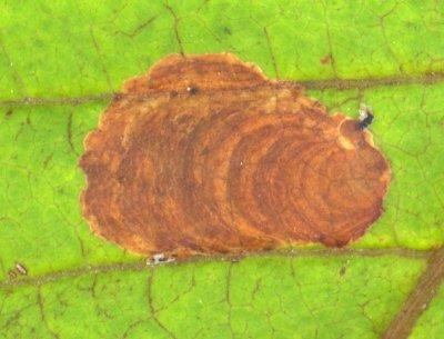 Aantasting van de paardenkastanjemineermot (Cameraria ohridella) op de paardenkastanje (Aesculus hippocastanum). Foto: Jan-Kees Goud.