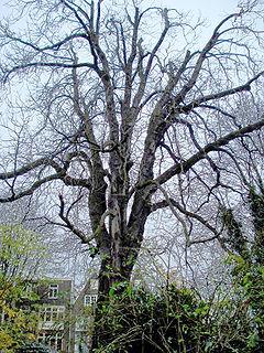 De beroemde kastanjeboom bij het achterhuis van Anne Frank.