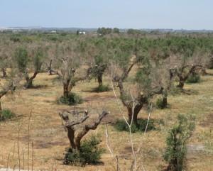 olijfbomenpestdeel