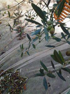 Olijvenoogst van een gezonde boom. Z4UsCC-BY-SA-3.0