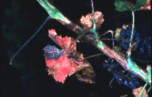 http://nature.berkeley.edu/xylella/overview/diseaseOverview.html