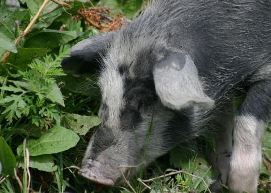 Dit varken eet zijn buikje rond aan onkruid.